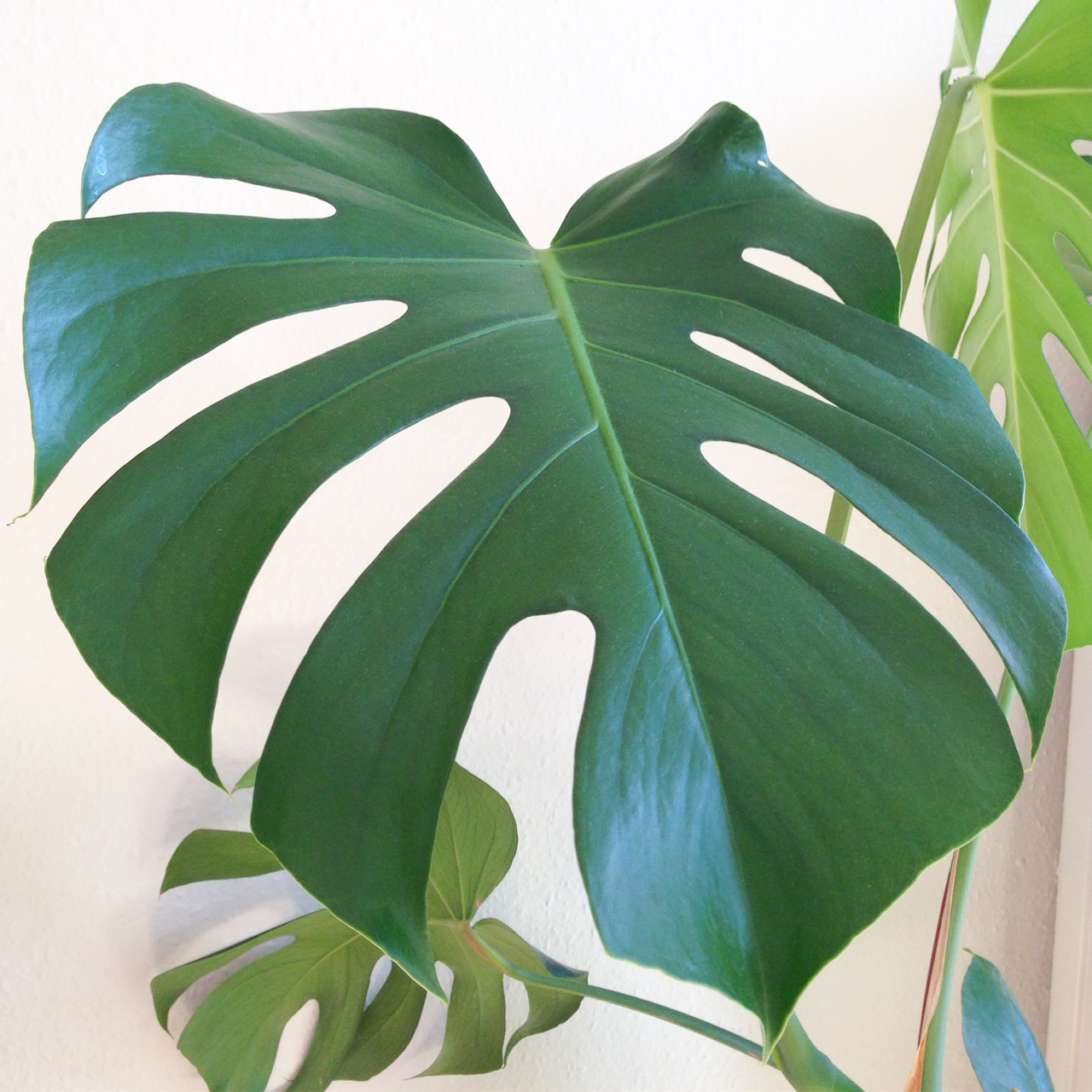 fingerfilodendron